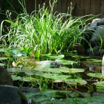 1waterscape2_lillies